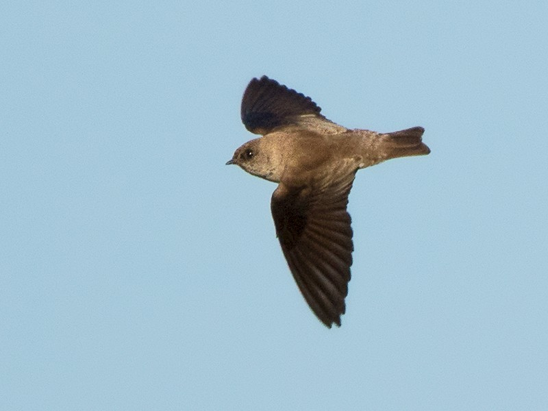 Gray-throated Martin - Ayuwat Jearwattanakanok