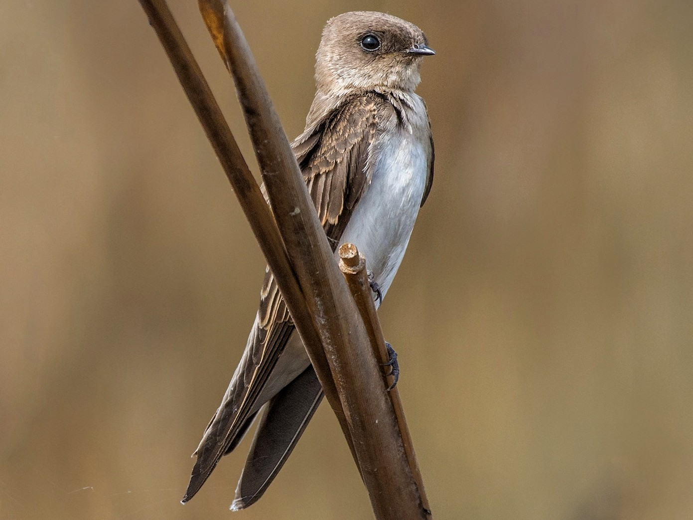 Gray-throated Martin - Prashant Kumar