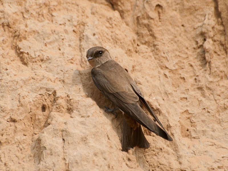 Gray-throated Martin - Abhishek Gulshan