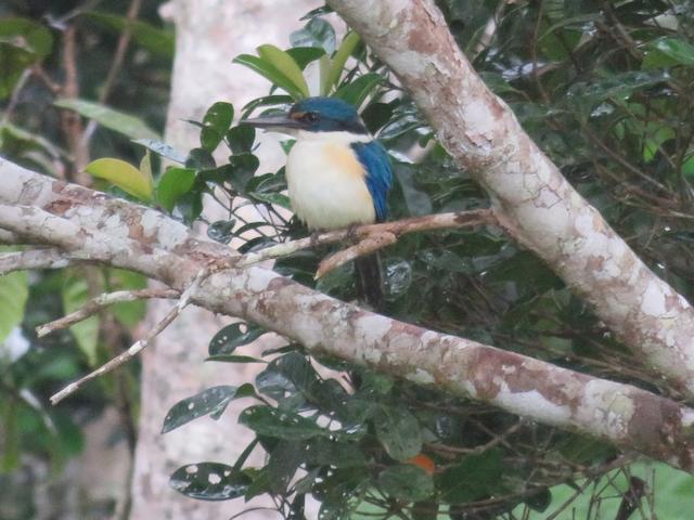 Pacific Kingfisher