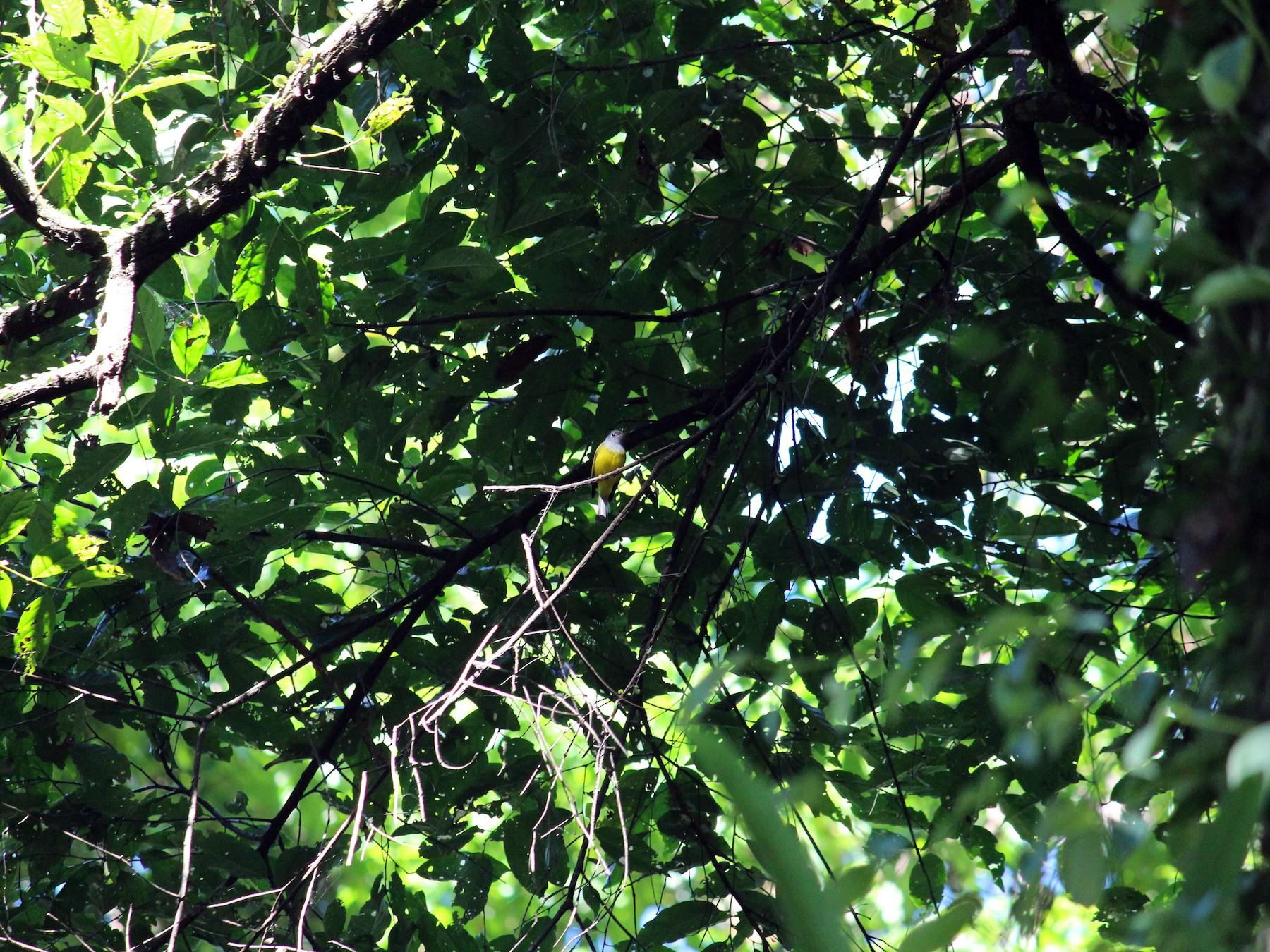 Gray-headed Canary-Flycatcher - Ashwin Viswanathan