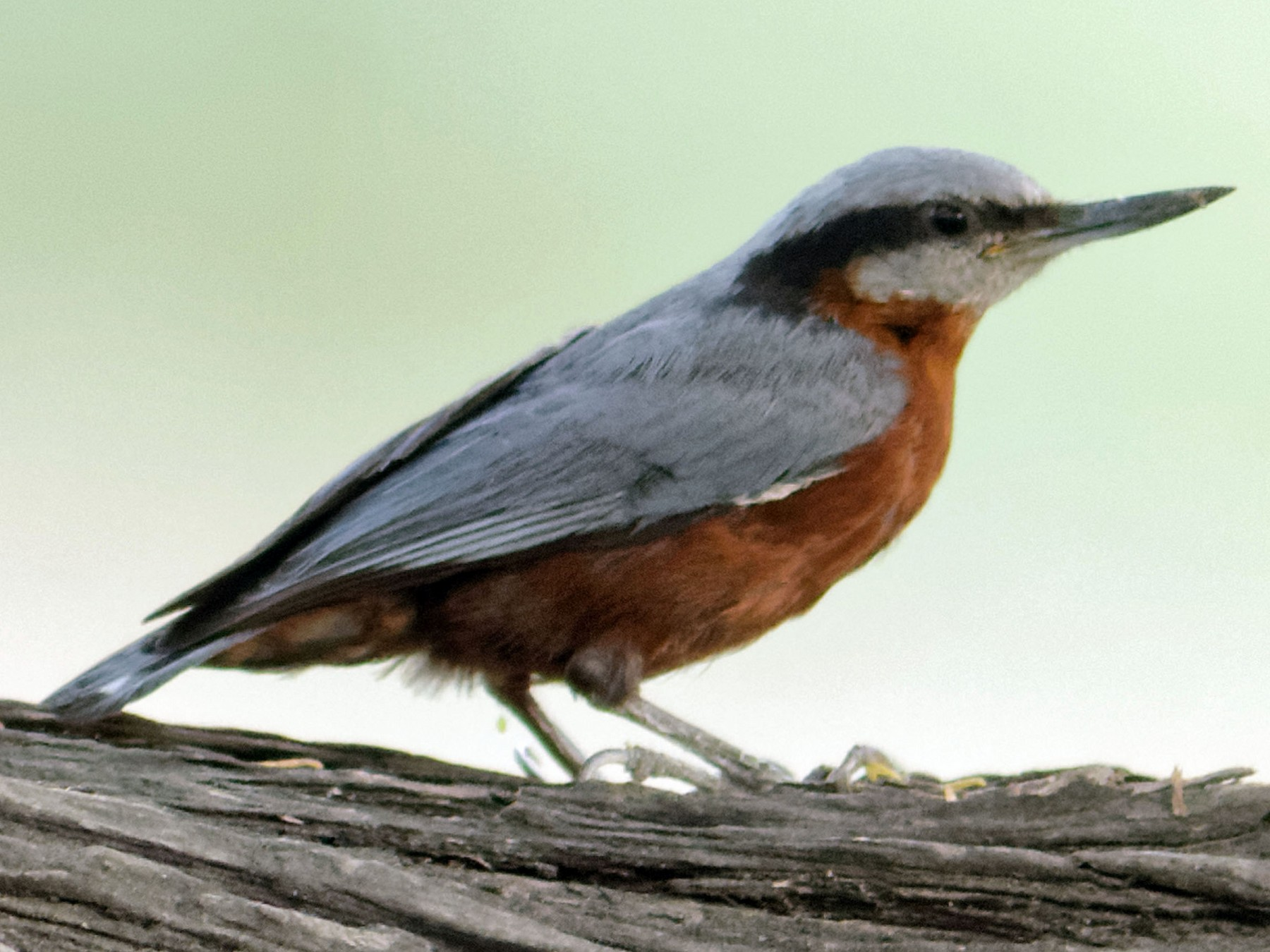 Indian Nuthatch - Able Lawrence