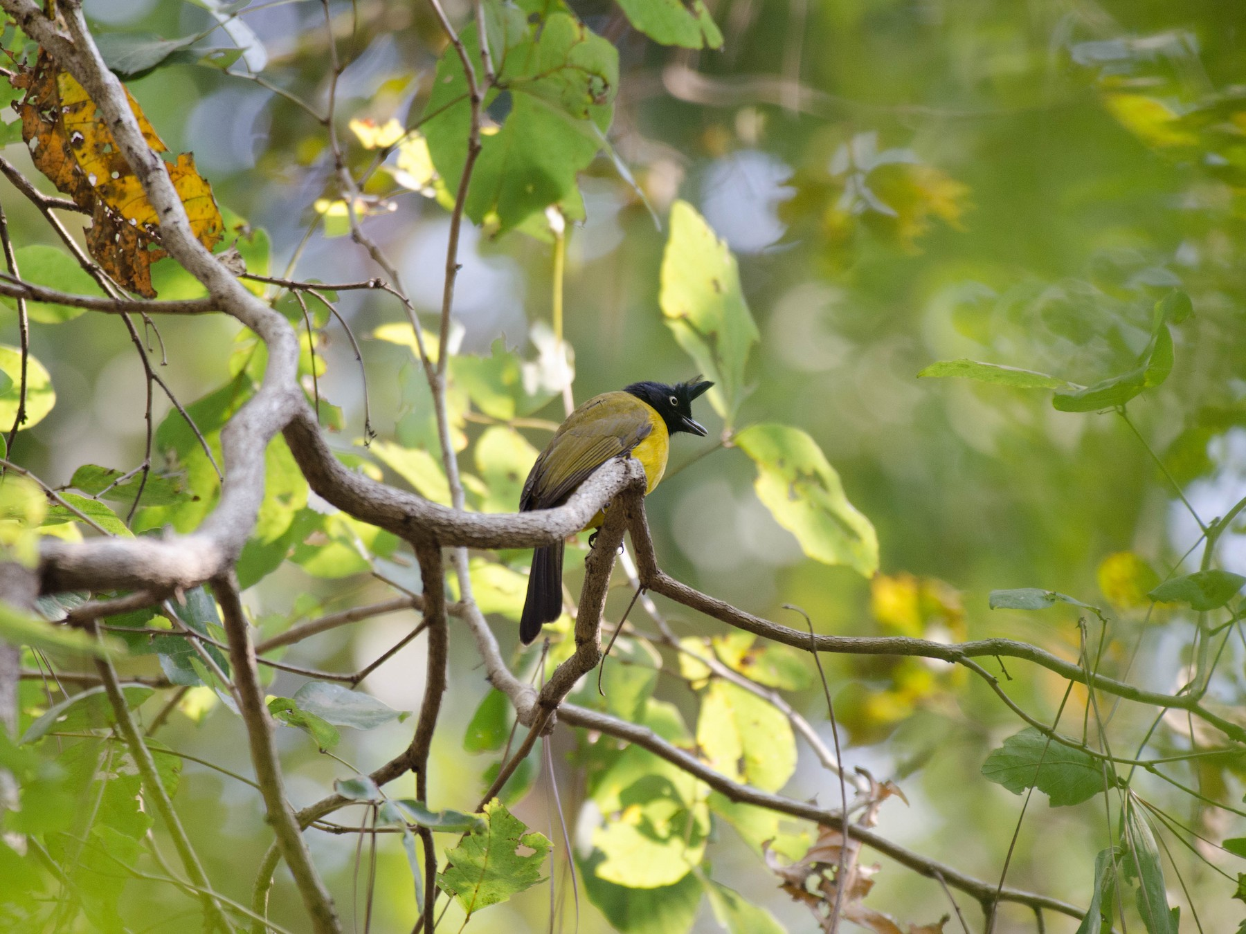 Black-crested Bulbul - Ankur Shekdar