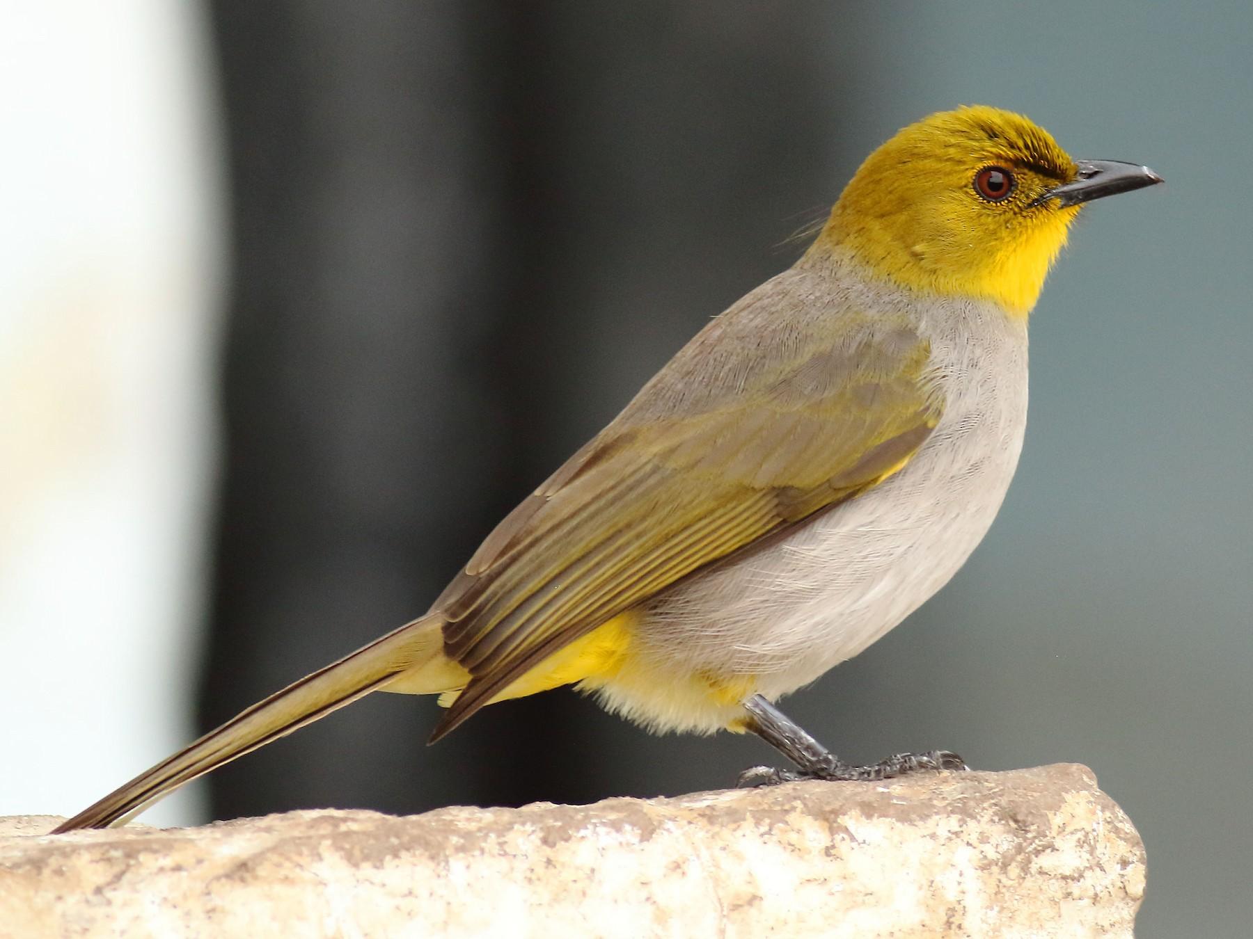 Yellow-throated Bulbul - Amarendra Konda
