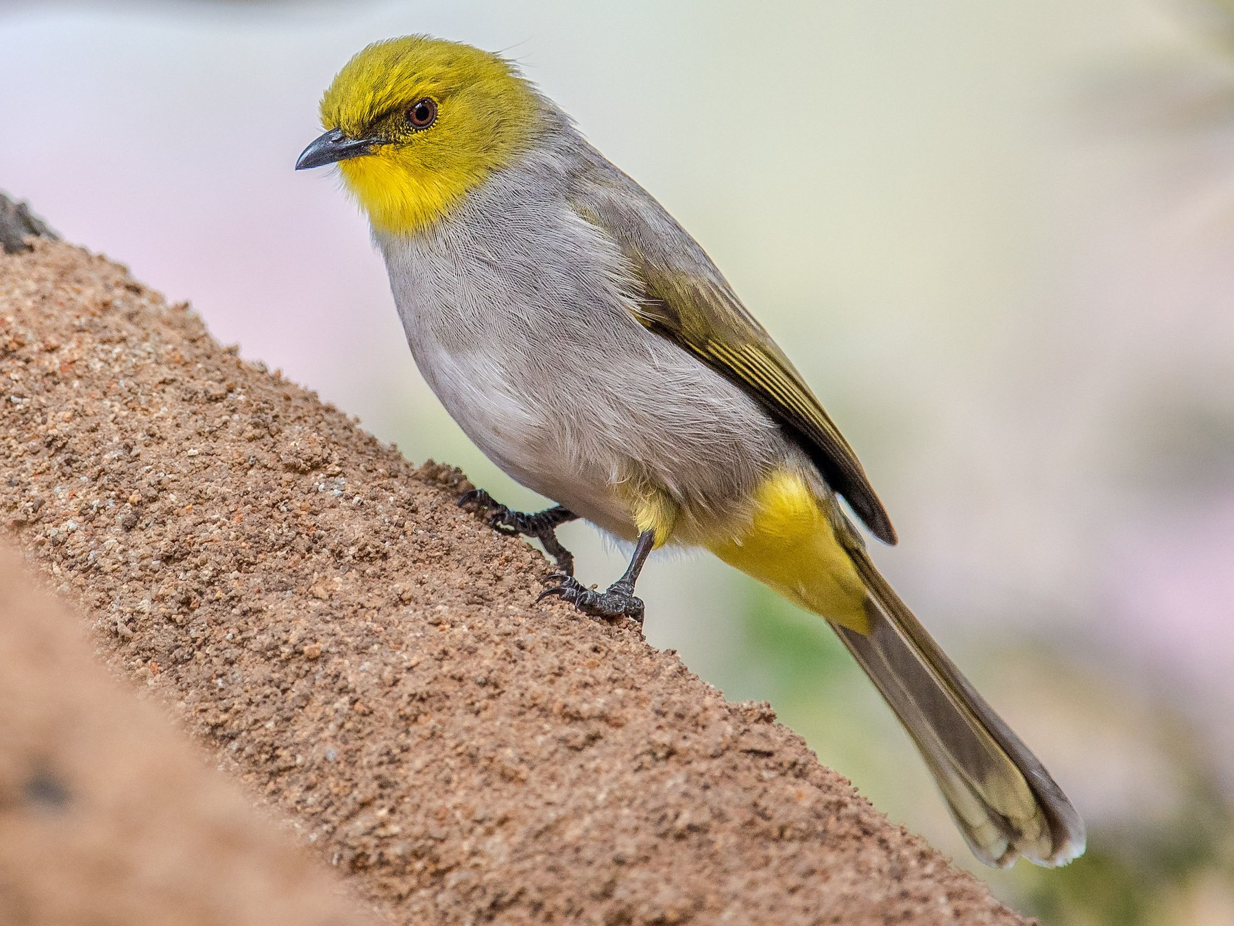 Yellow-throated Bulbul - Sivaguru Noopuran PRS