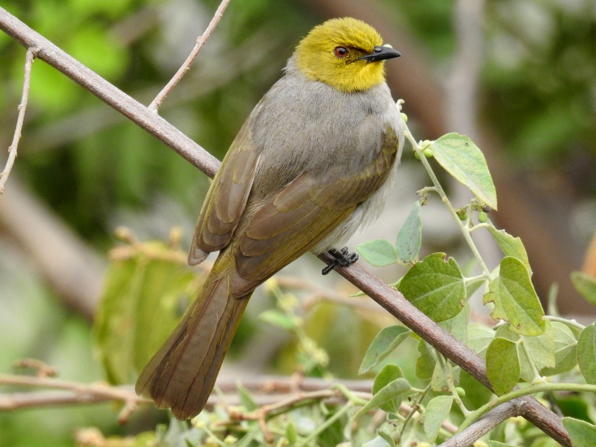 Yellow-throated Bulbul - Raja Bandi