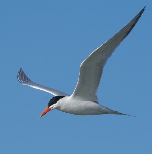 Royal Tern (American)