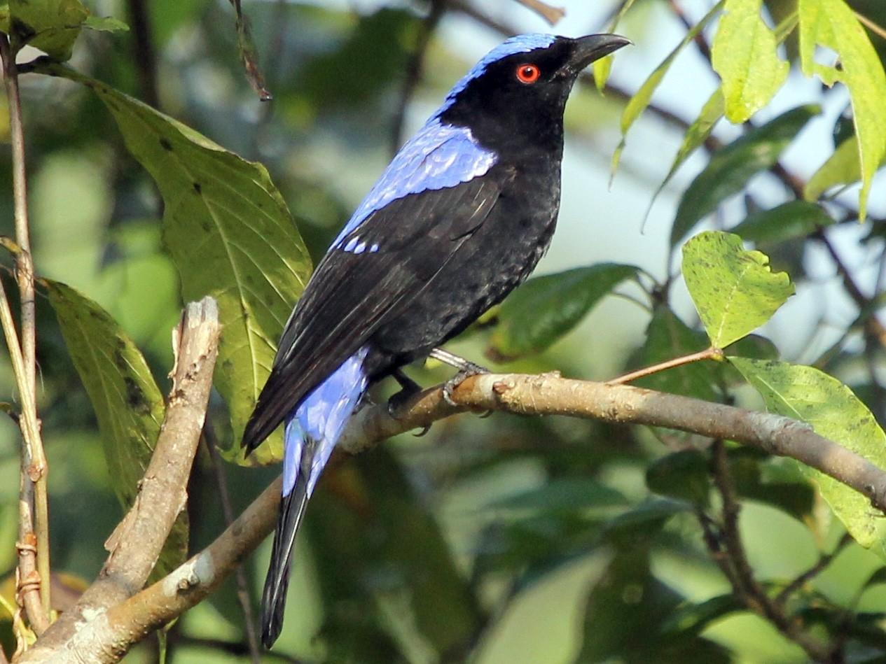 Asian Fairy-bluebird - Bassel Abi Jummaa