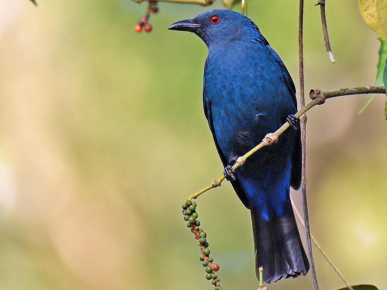 Asian Fairy-bluebird - S S Suresh