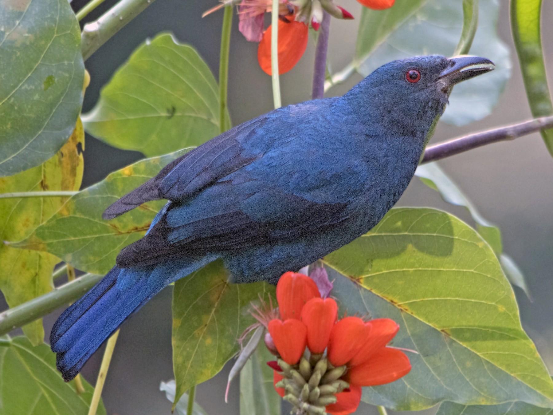 Asian Fairy-bluebird - Swapnil Thatte