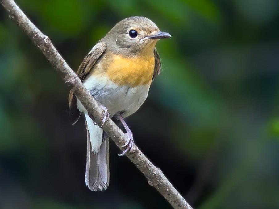 Blue-throated Flycatcher - Sivaguru Noopuran PRS