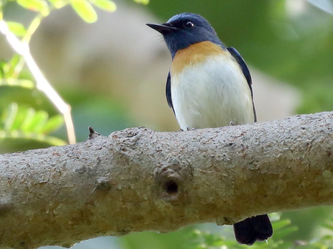 Blue-throated Flycatcher - Rahul  Singh