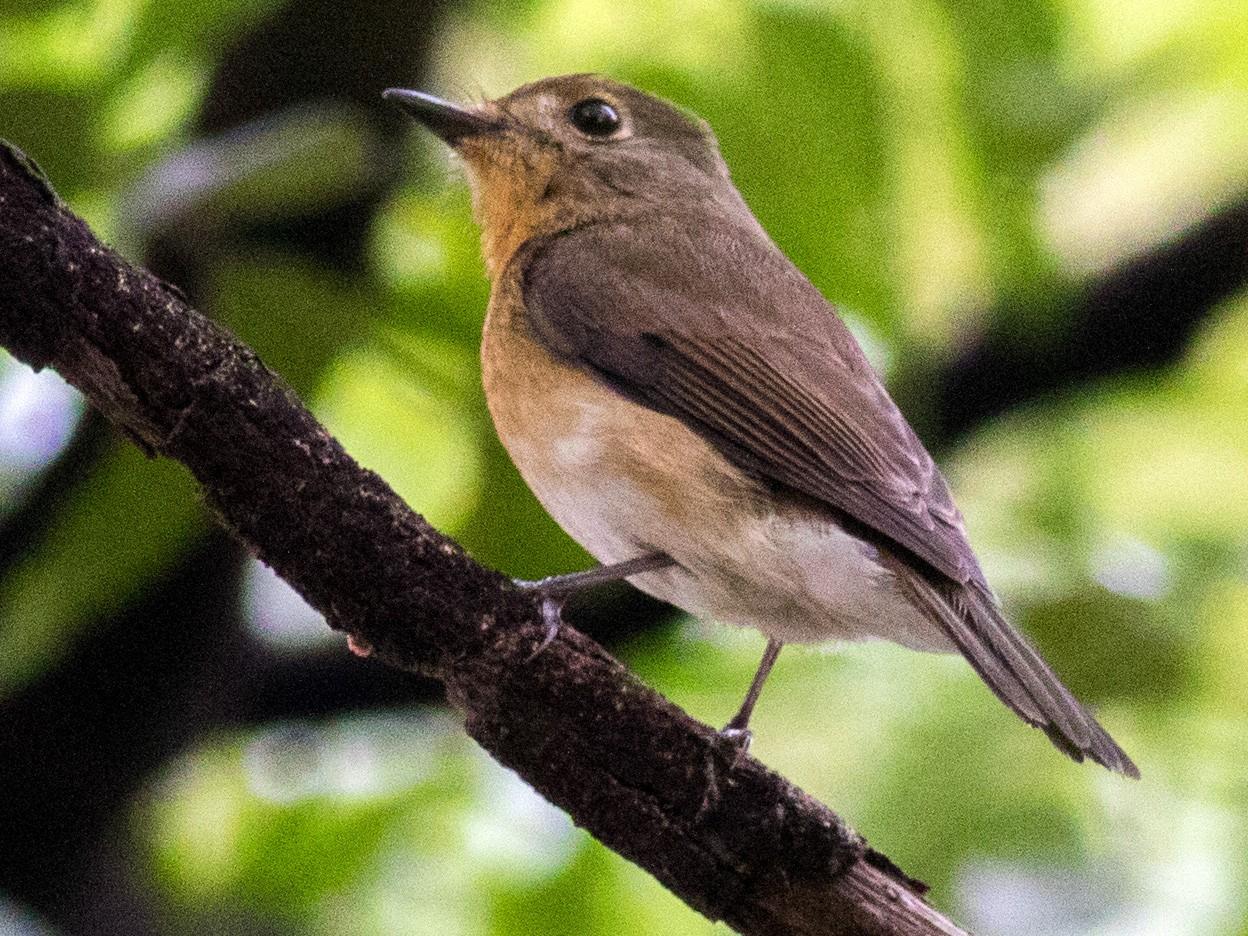 Blue-throated Flycatcher - abhishek ravindra