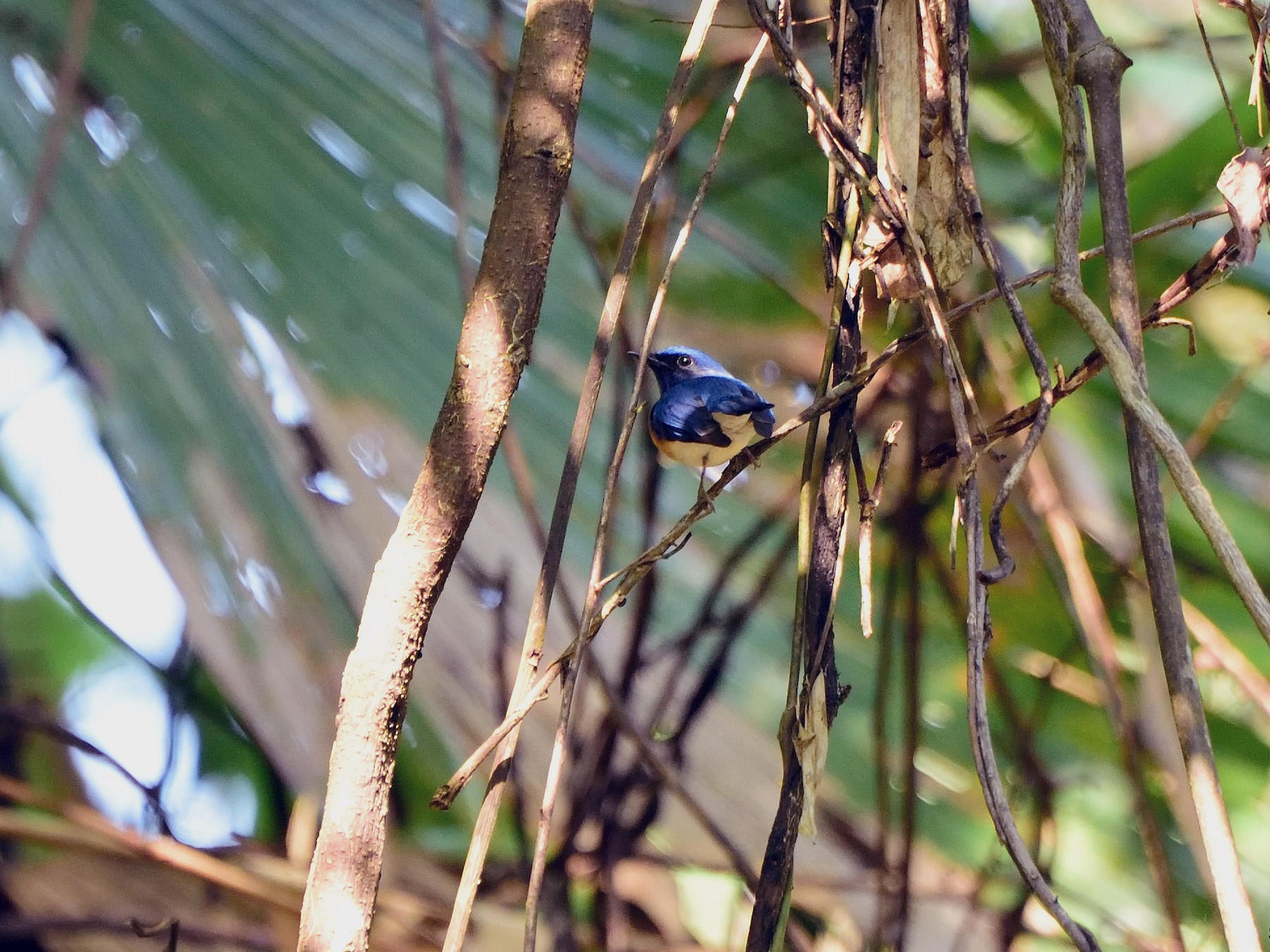 Blue-throated Flycatcher - Steve Arena