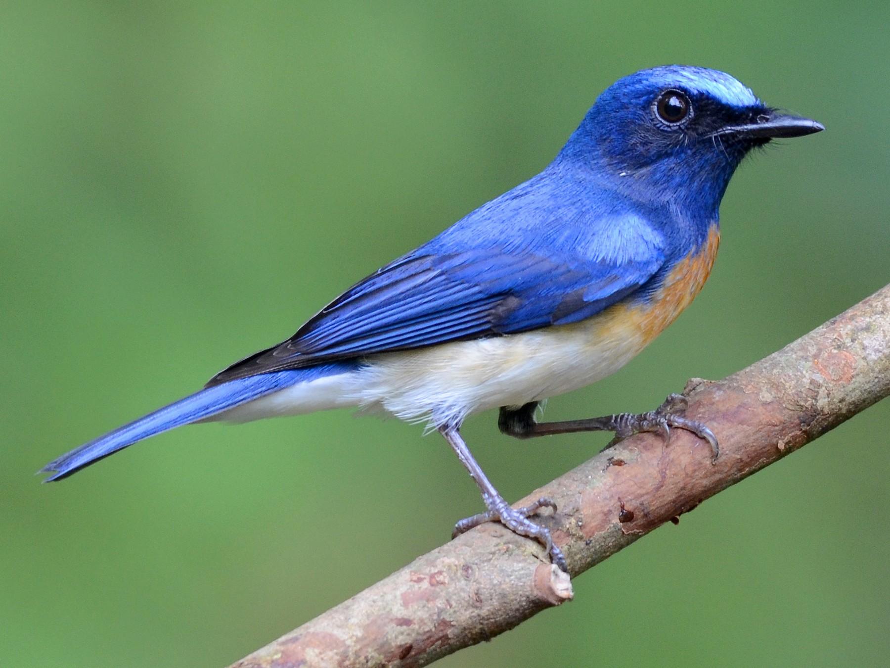Blue-throated Flycatcher - Rajesh Mangal