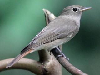 - Rusty-tailed Flycatcher