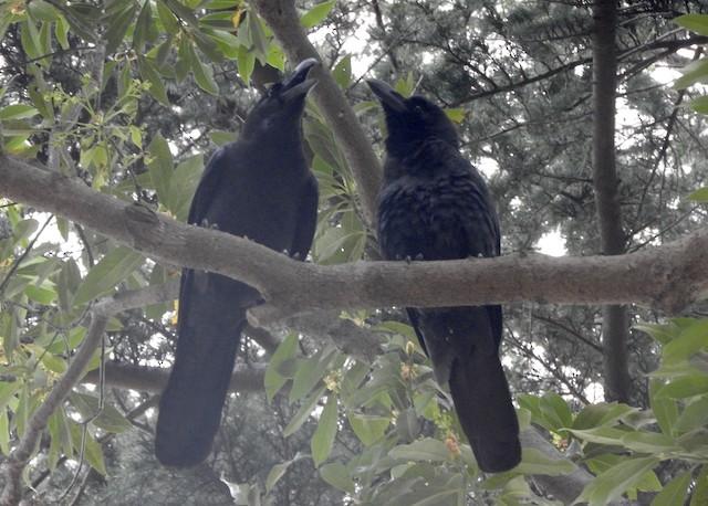 Large-billed Crow