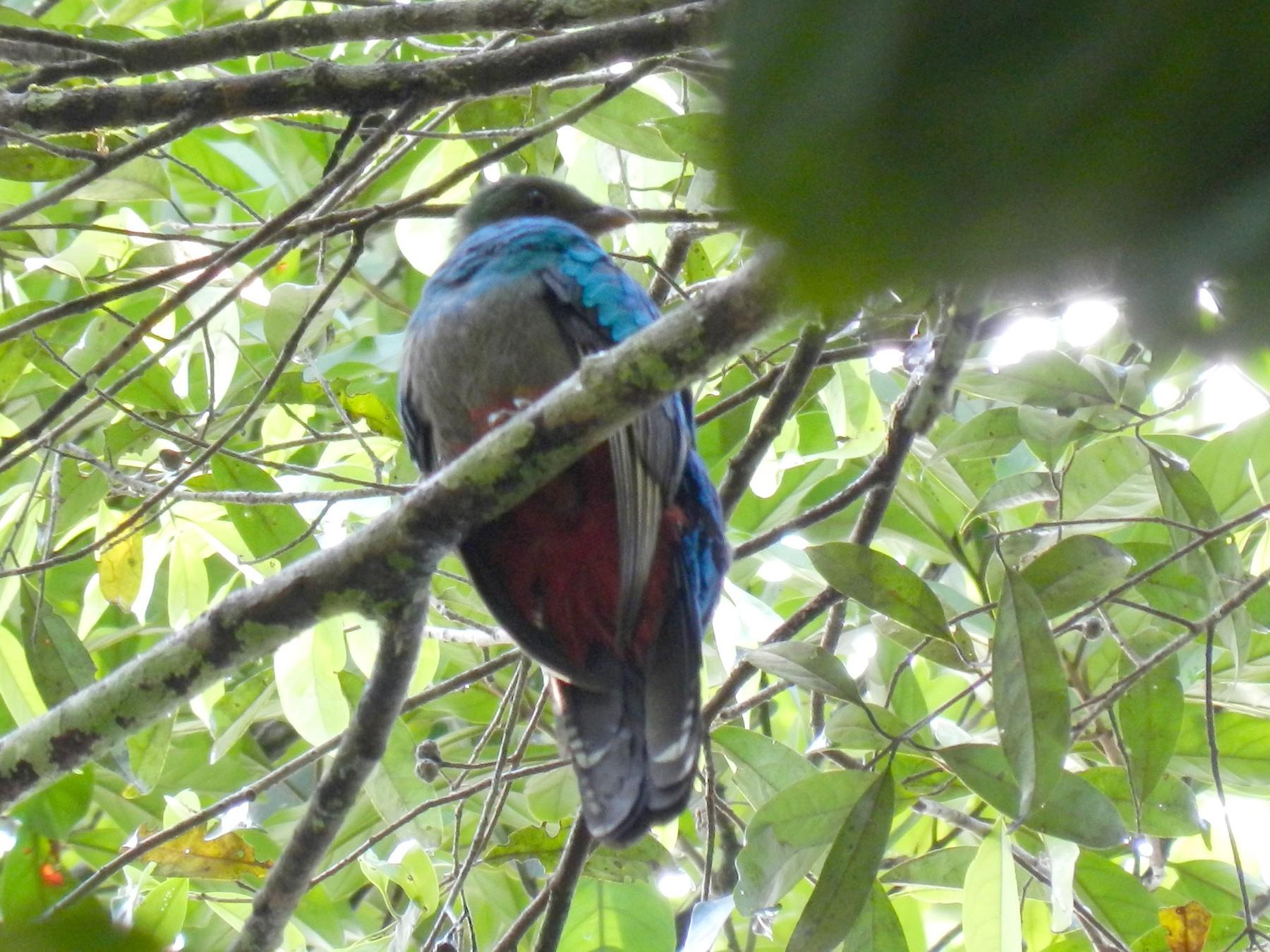 Pavonine Quetzal - Susana Cubas Poclin