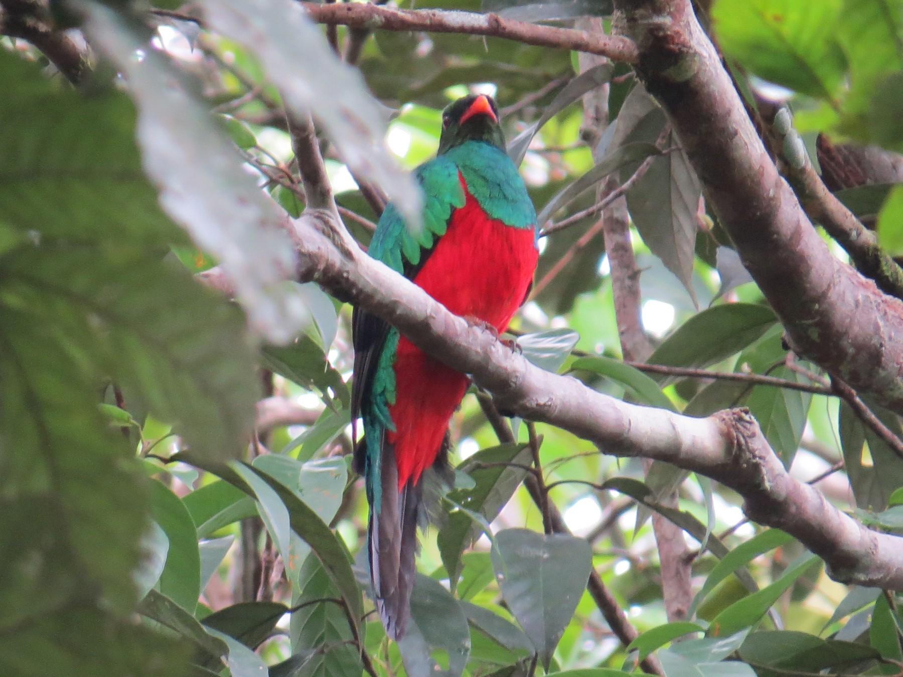 Pavonine Quetzal - Frank Murphy