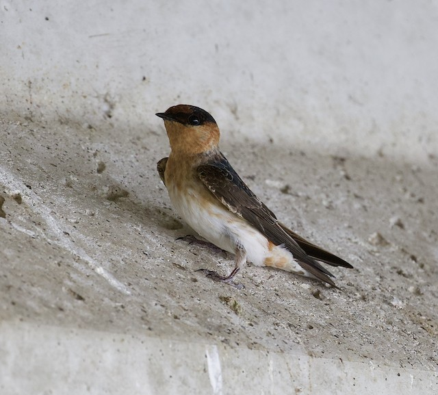 Cave Swallow (Caribbean)