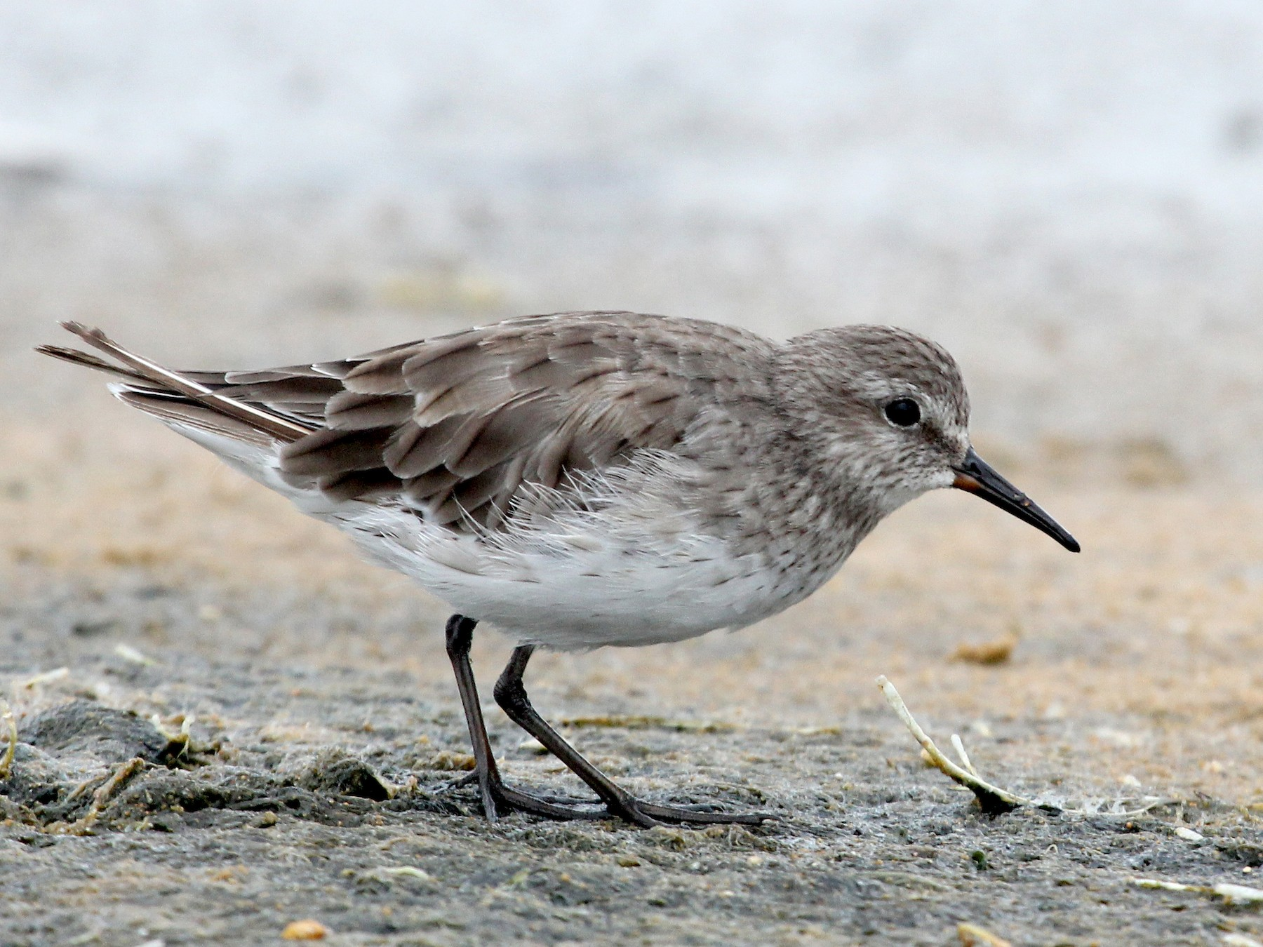 White-rumped Sandpiper - Ray Turnbull