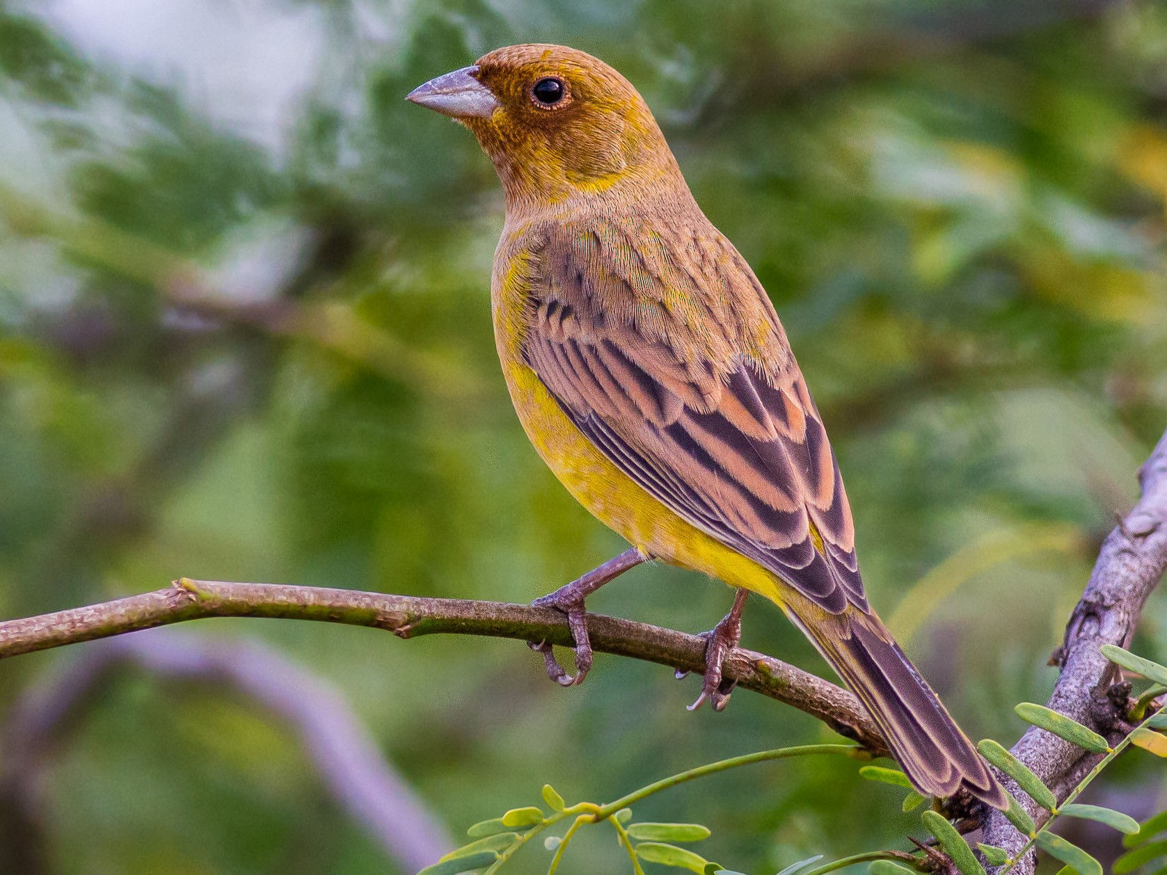 Red-headed Bunting - abhishek ravindra