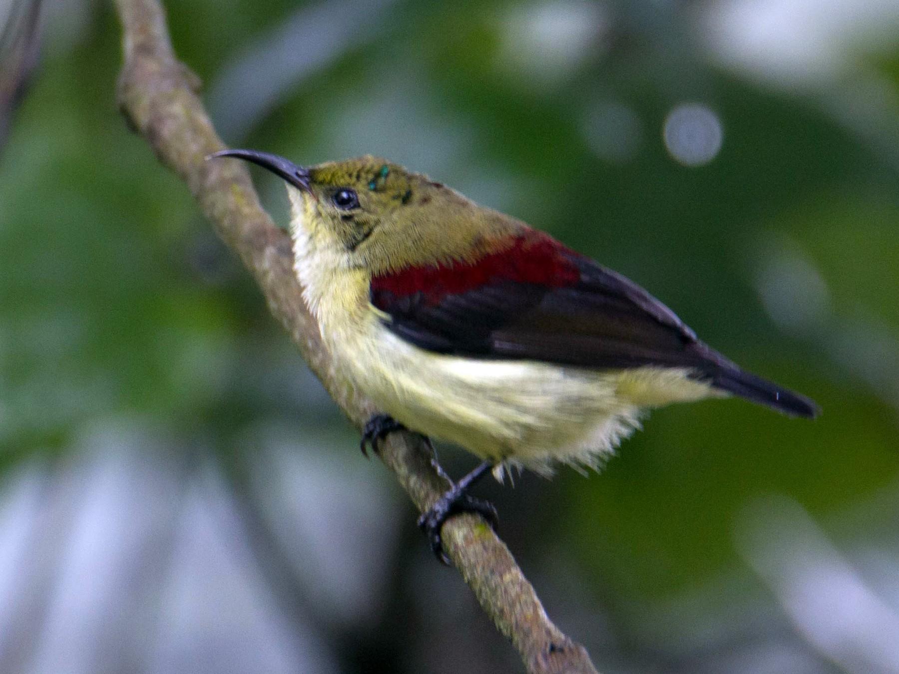Crimson-backed Sunbird - Adithya Bhat