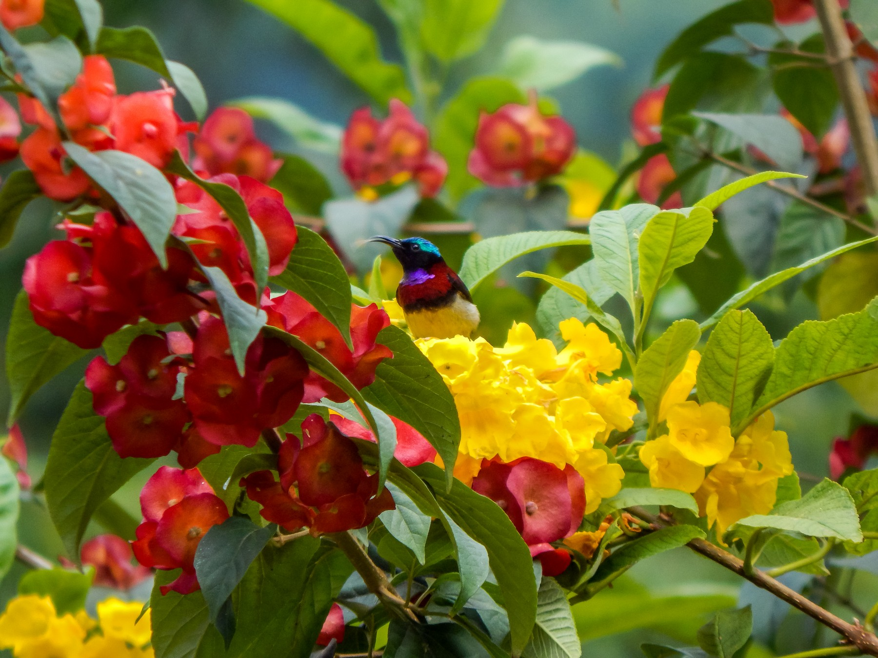 Crimson-backed Sunbird - Vinay K L