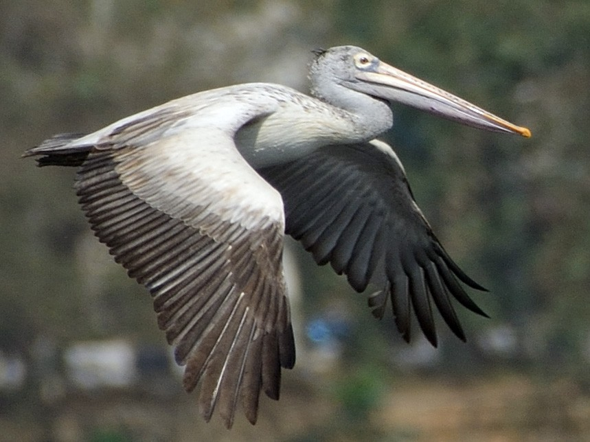 Spot-billed Pelican - Sanjay Malik