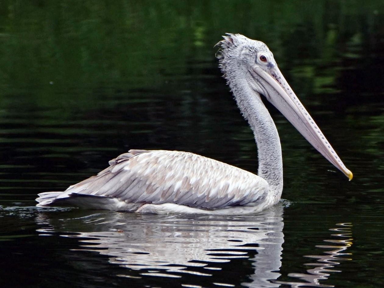 Spot-billed Pelican - Rajesh Radhakrishnan