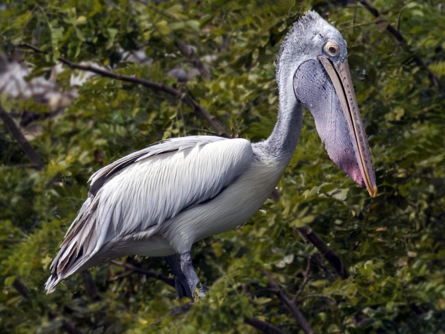 Spot-billed Pelican - Kishore Bakshi