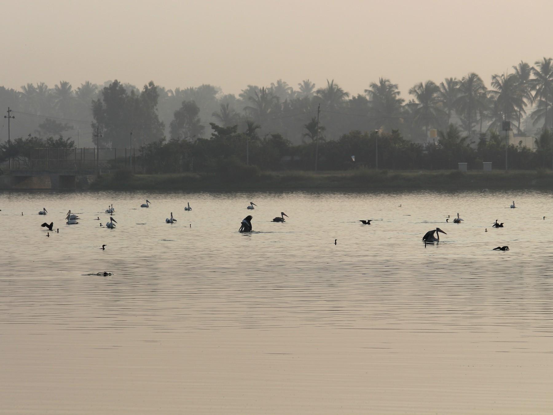 Spot-billed Pelican - Ashwin Viswanathan