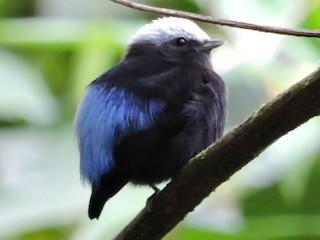 - Blue-rumped Manakin