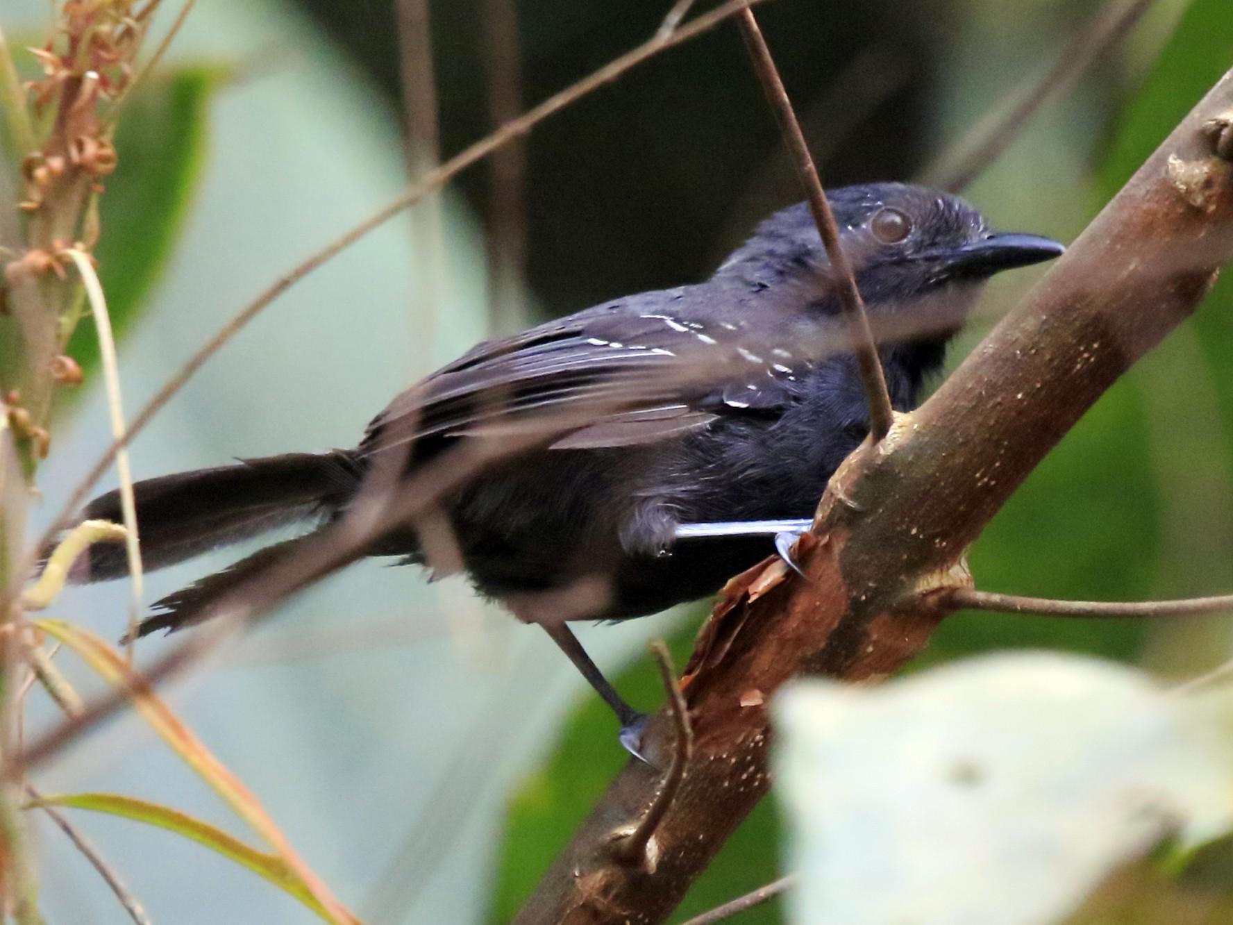 Blackish Antbird - Fabio Olmos