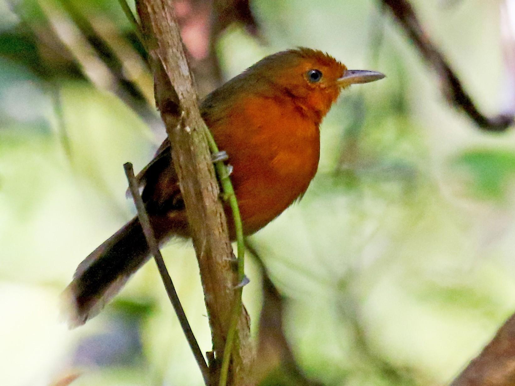 Blackish Antbird - Carmen Lúcia Bays Figueiredo