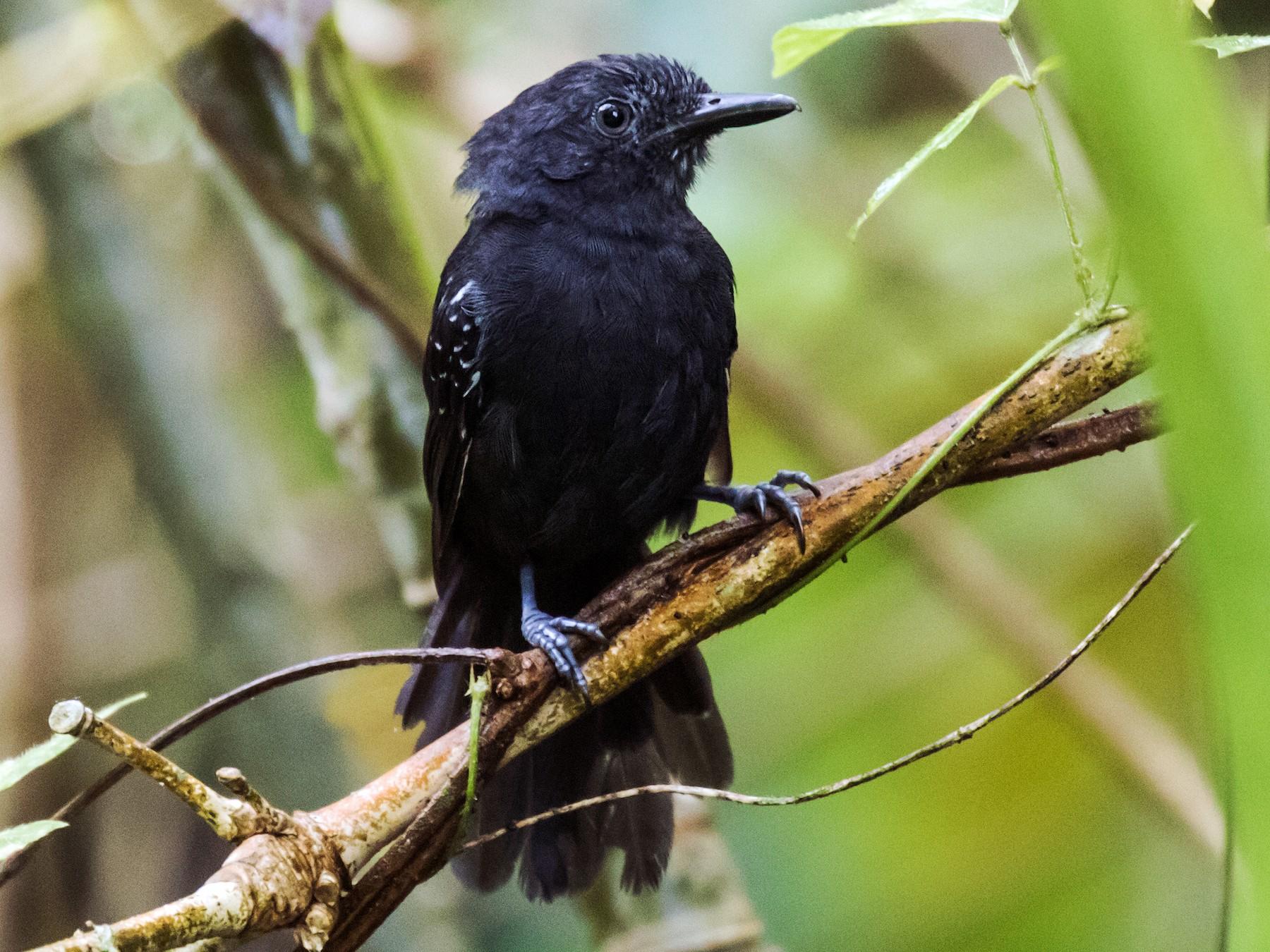 Blackish Antbird - Nick Athanas