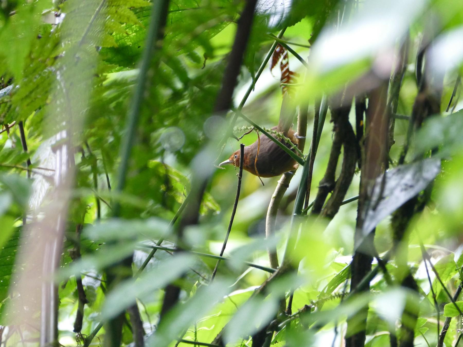 Blackish Antbird - Peter Kaestner