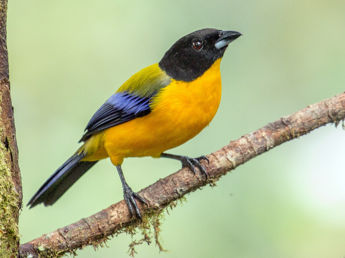 Black-chinned Mountain-Tanager - Louise Auclair