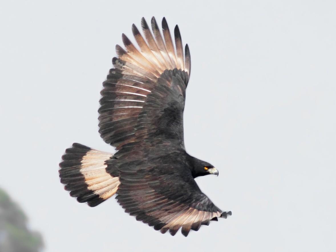 Black-and-chestnut Eagle - Freddy Burgos Gallardo