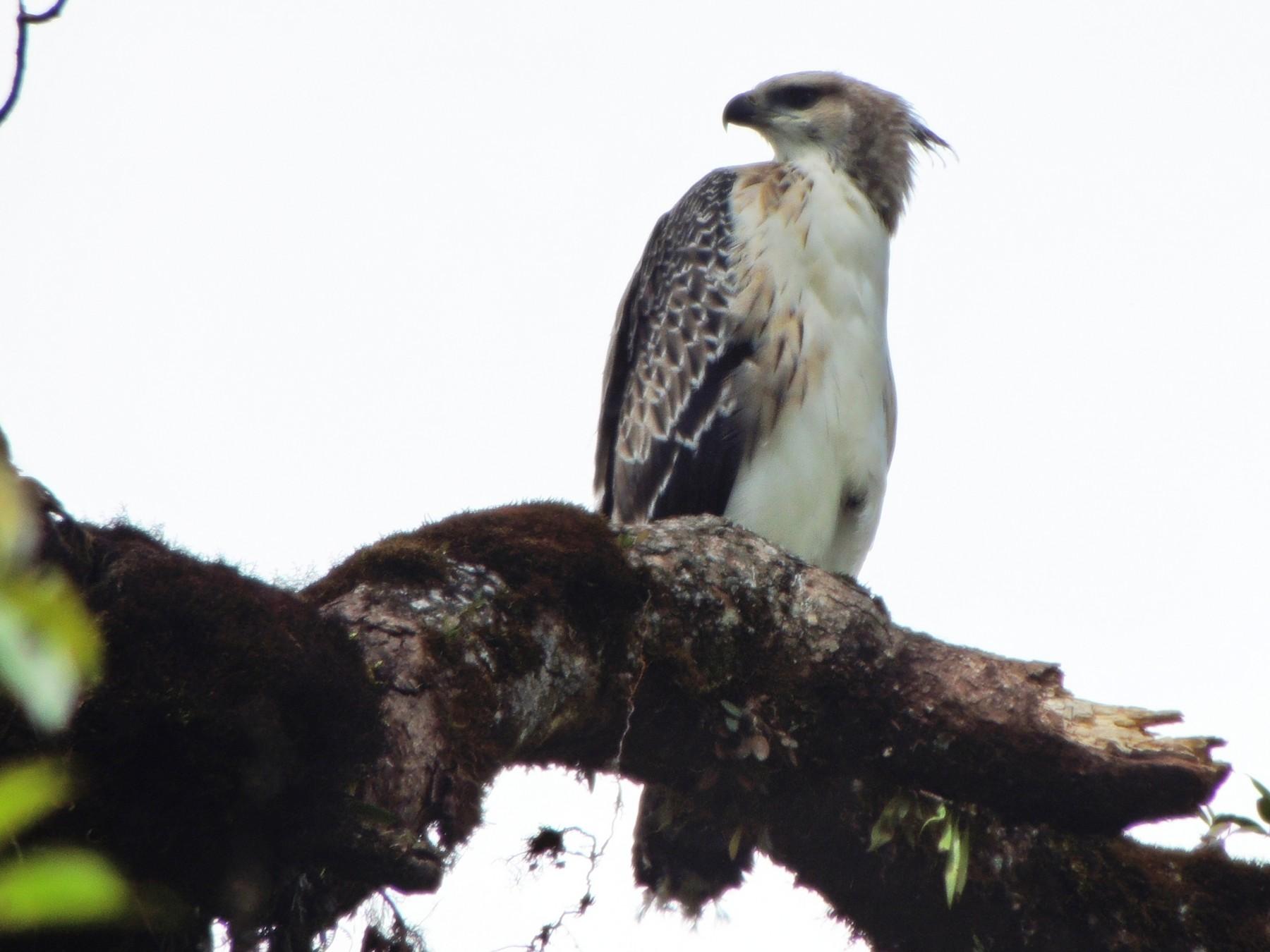 Black-and-chestnut Eagle - Paul Molina A