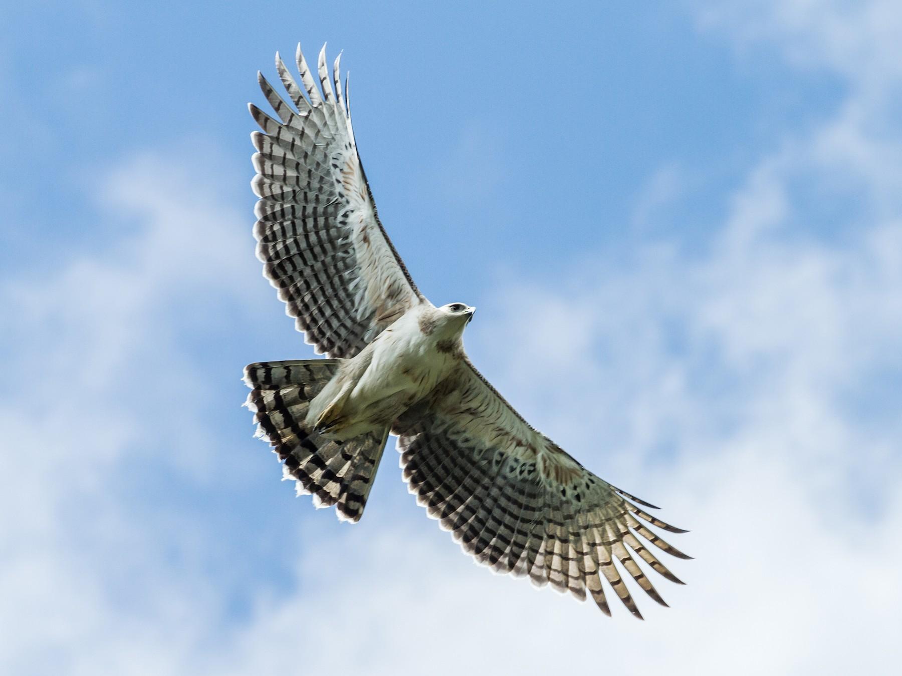 Black-and-chestnut Eagle - Nick Athanas