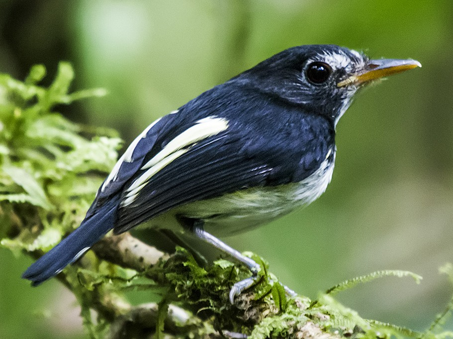 Black-and-white Tody-Flycatcher - Nick Athanas