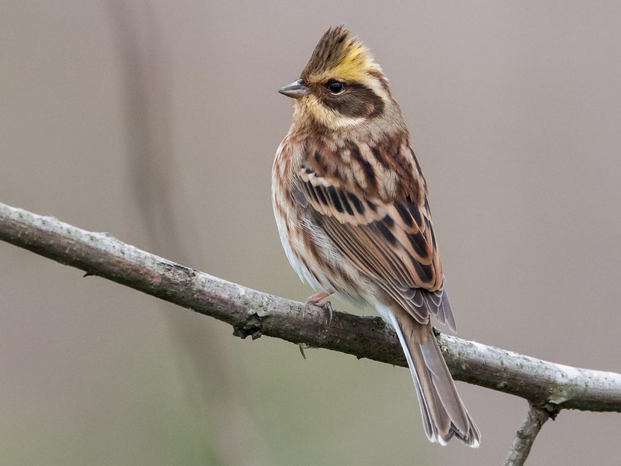 Yellow-throated Bunting - Kai Pflug
