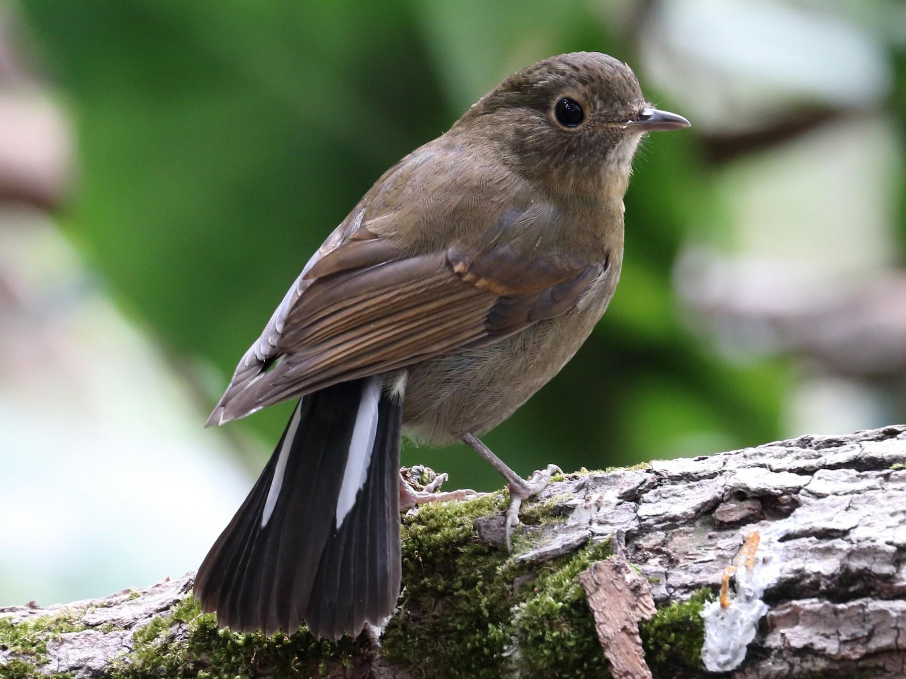 White-tailed Robin - Wing Yan Ng