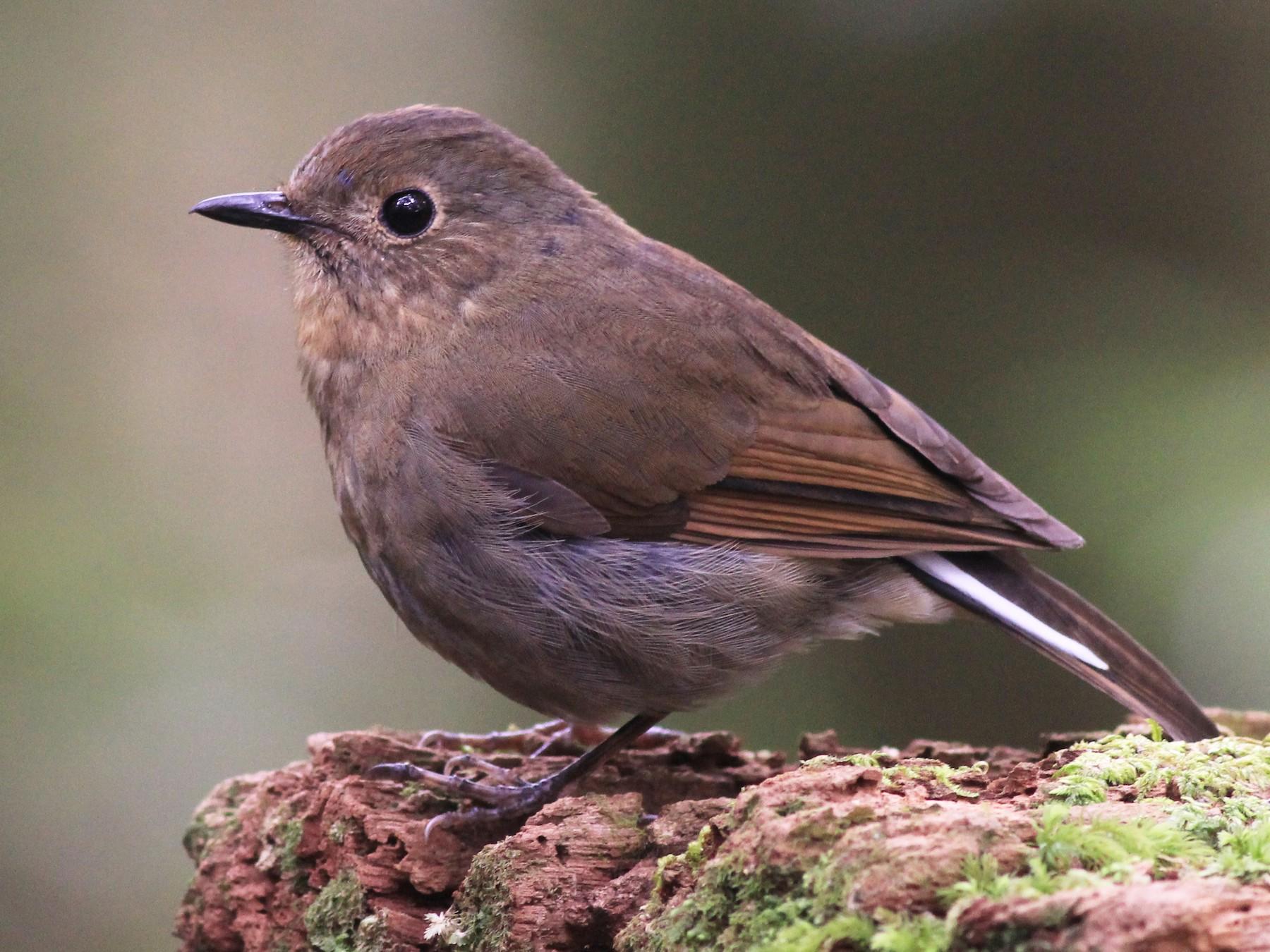 White-tailed Robin - Allen Lyu
