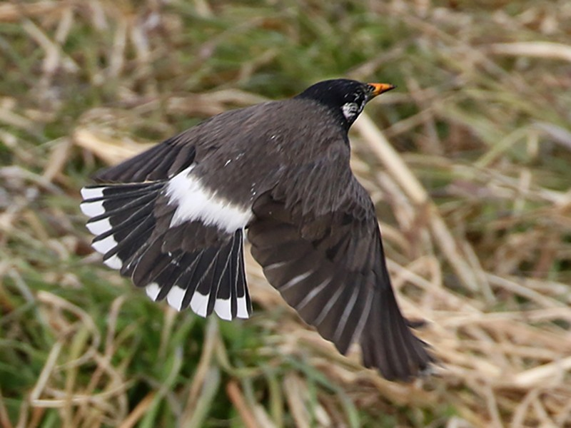 White-cheeked Starling - Charley Hesse TROPICAL BIRDING