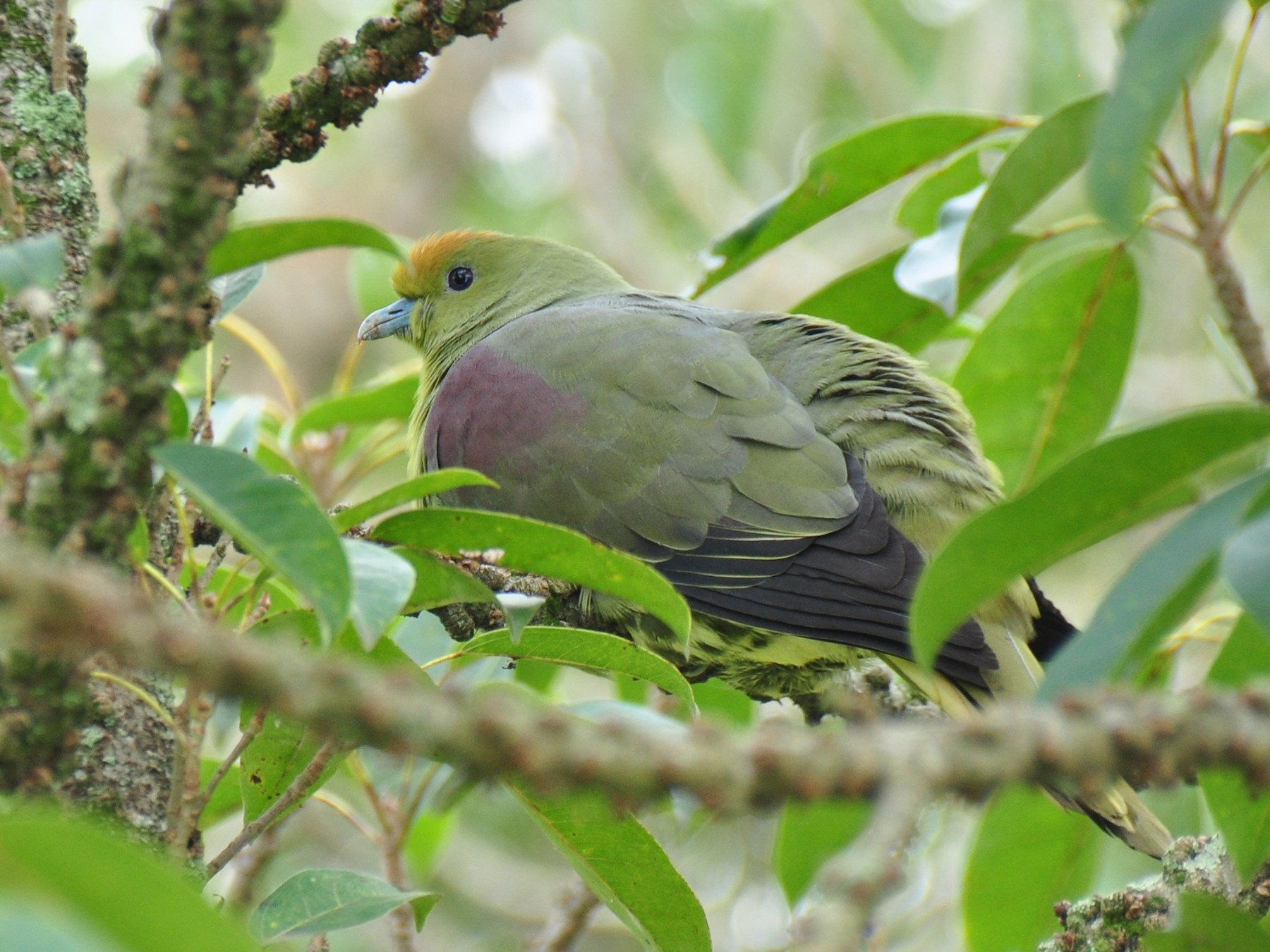 White-bellied Green-Pigeon - Kun-Hui  Lin