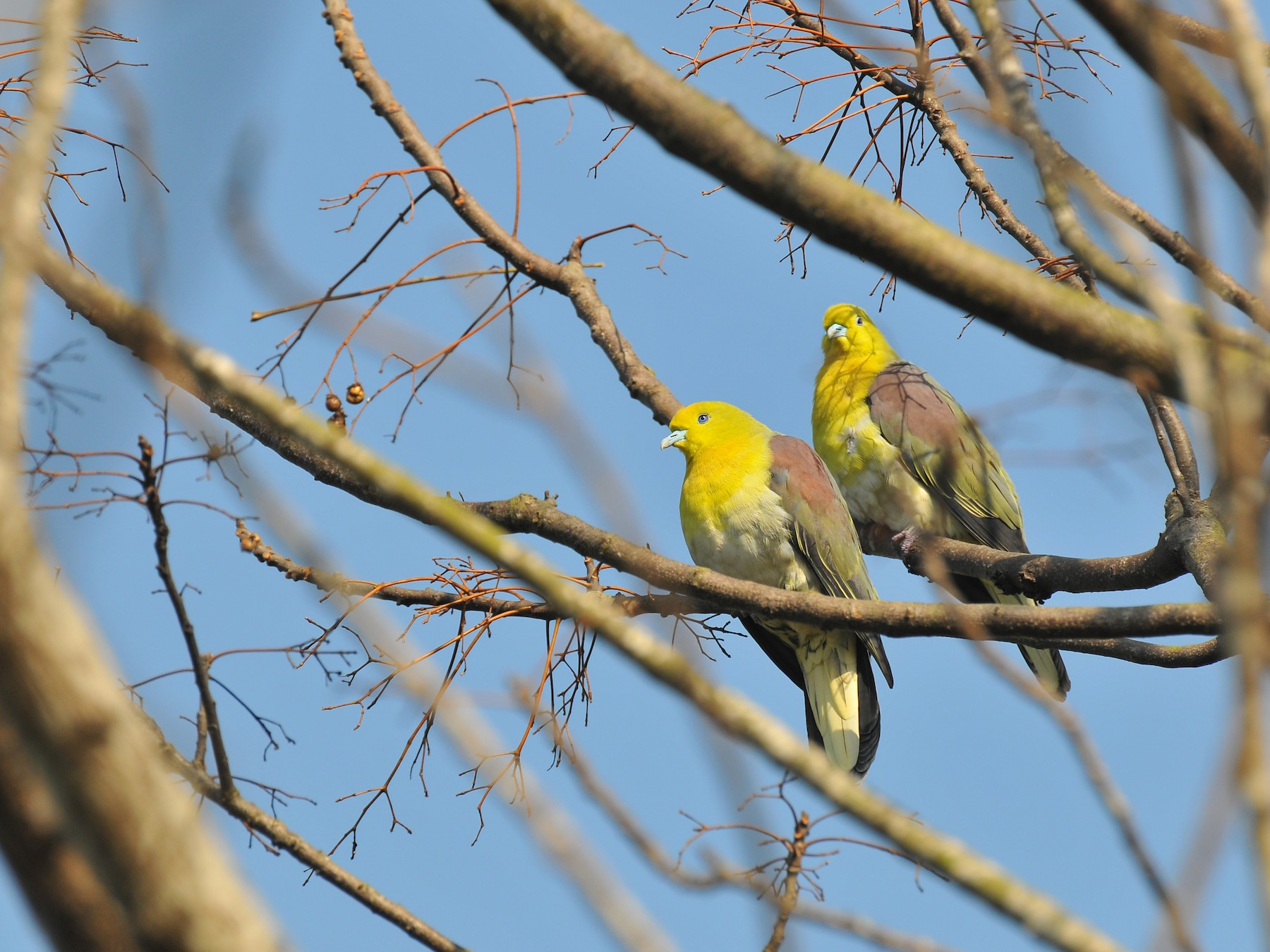 White-bellied Green-Pigeon - Cheng-Ru Tsai