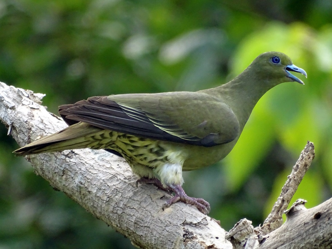 Whistling Green-Pigeon - Tom Liao