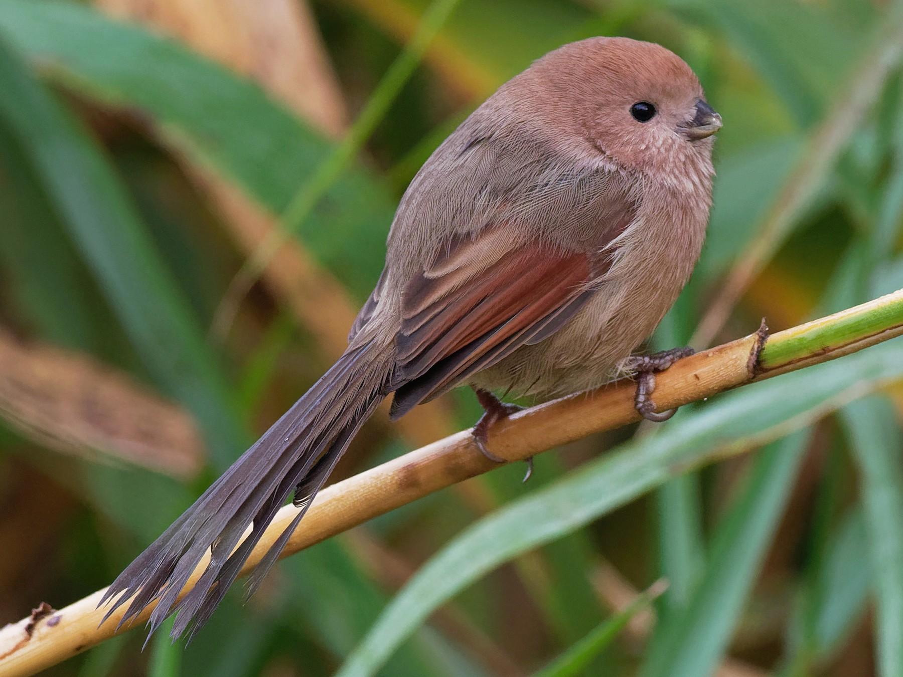 Vinous-throated Parrotbill - Vincent Wang